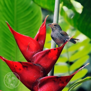 A bird and heliconia