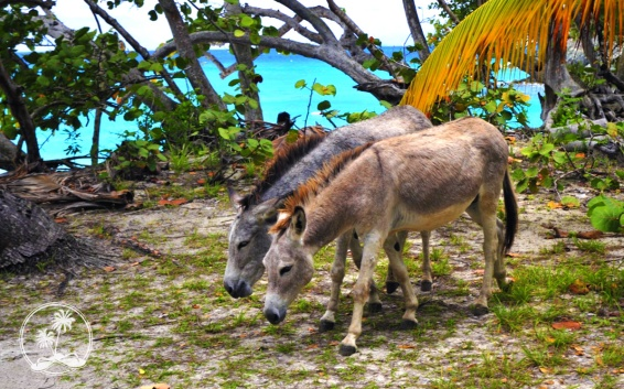 Donkeys at Trunk Bay